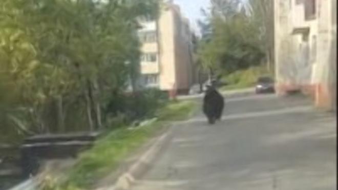 В Петропавловске-Камчатском медведь выбежал к школе и детскому саду