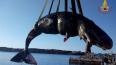 На побережье Италии нашли мертвую беременную самку ...