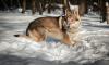 Нашли петербуржца, который украл собаку редкой породы за 100 тысяч