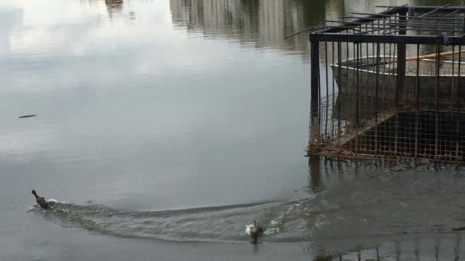 На реке Новой спасли утят