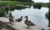 """Парк """"Монрепо"""" реставрируют с заботой об утках"""