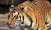 Тигрице Воле из Приамурского зоопарка помогает весь интернет