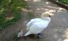 У погибшей в Гатчинском районе самки лебедя вылупился птенец