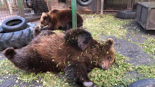 """Медведи """"Велеса"""" обрадовались свежей еловой щепе"""