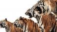 Тигры-мстители 5 дней осаждали дерево с 5-ю индонезийцам...