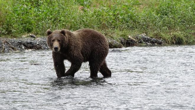 На Камчатке застрелили медведя, который напал на туристку из Москвы
