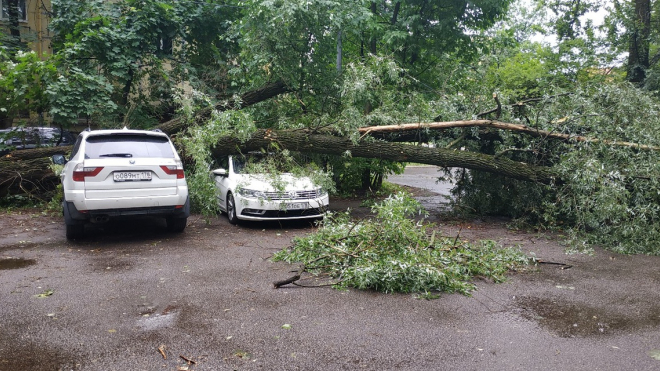 """Наибольшее количество """"деревьев-убийц"""" выявлено в Приморском районе"""