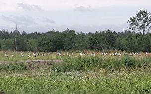 На мусорный полигон в Гатчинском районе прилетели 80 аистов