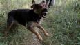 Под Новосибирском сторожевой пес насмерть загрыз 4-летне...