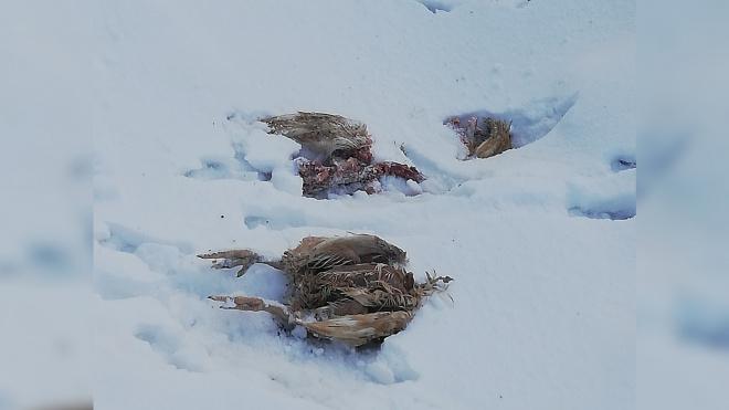В Ленобласти нашли крестьянское хозяйство с птичьими трупами на территории