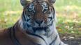 Амурский тигр напал на охотника в Приморье