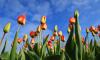 В парке Интернационалистов взошли 10 тысяч тюльпанов