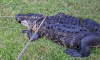 Во Флориде огромный аллигатор съел питбуля на глазах у хозяйки