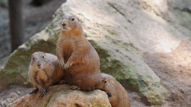 В Ленинградском зоопарке появятся три степных сурка