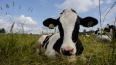 Восемь новых фермерских хозяйств откроются в Ленобласти ...