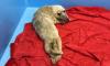 В Финском заливе спасли двух истощенных детенышей тюленя