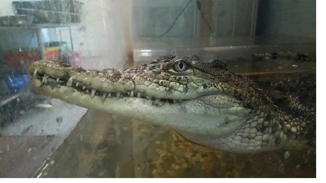 """В центре """"Велес"""" умер крокодил Гена, которого нашли на помойке пять лет назад"""