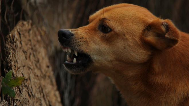 В Сосновом Бору на девочку напала стая бродячих собак на глазах у матери