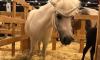 """Конь-единорог вернулся домой: животное доставили на """"Иппосферу"""" в """"Экспофорум"""""""