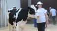 В Выборгском районе живет лучшая в области корова