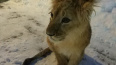 На проспекте Энергетиков нашли львенка