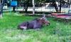 В Великом Новгороде во дворе жилого дома жители обнаружили мертвого лося