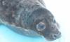 В Петербурге тюлень Валдай  прошел реабилитацию и отправился в Финский залив