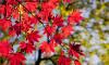 В честь юбилея ЗакСа в парке 300-летия посадили 50 краснолистных кленов