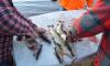 В Петербурге рыбаки получили срок за браконьерство в Парке 300-летия
