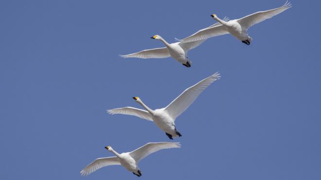 В сети появились фотографии краснокнижных лебедей из Ленобласти