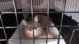 В Пулково задержали мейн-куна, прилетевшего из ЮАР
