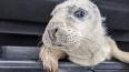 Волонтеры нашли истощенную самку тюленя напротив частног...