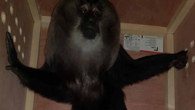 В Ленинградский зоопарк из Парижа прилетел краснокнижный примат