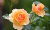 В Выборгских теплицах распускаются цветы, которые скоро высадят на улицах города