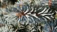 В Лужском лесу посадили 11 тысяч елок и сосен