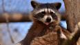 Кусачих енотов изъяли из контактного зоопарка в Петербур...