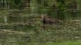 В воскресенье в Екатерининском парке лось купался ...