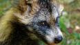 В Ленобласти енотовидная собака вышла за помощью к людям