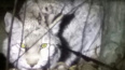 В Улан-Удэ во дворе жилых домов поймали дикую рысь