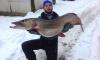 Рыбак-любитель из Ленобласти выловил под Новый год рыбу-гиганта