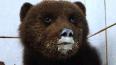 Под Петербургом спасли маленького медвежонка