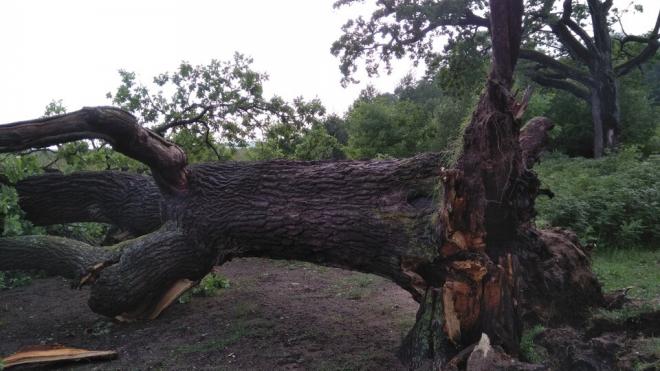 В поселке Лисий Нос упал один из старейших дубов Петербурга
