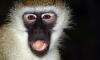 Сумасшедшая обезьяна истерзала 4-летнего мальчика из России в Таиланде
