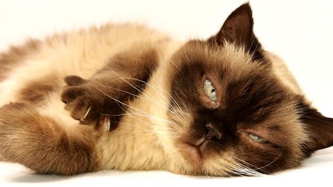 Аналитики: в Петербурге живет больше кошатников, чем собачников