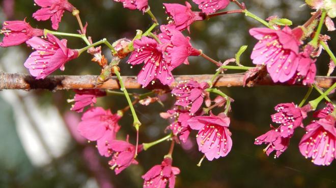 В Ботаническом саду цветет сакура свекольного цвета