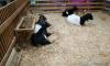 Для контактных зоопарков установили новые правила обращения с животными