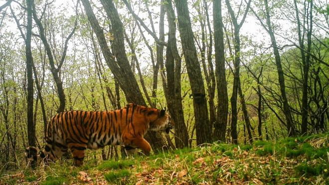 """В Приморье камера сняла, как амурский тигр делал """"селфи"""""""