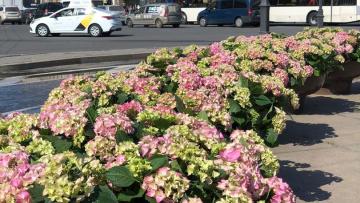 На Площади Восстания появились цветы гортензии