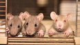 В Петербурге начали продавать замороженных крыс по ...