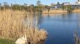 Петербуржец выбросил домашних гусей у озера Долгое: ...